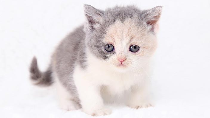 猫図鑑_ブリティッシュショートヘアと幸せな暮らしを送るために