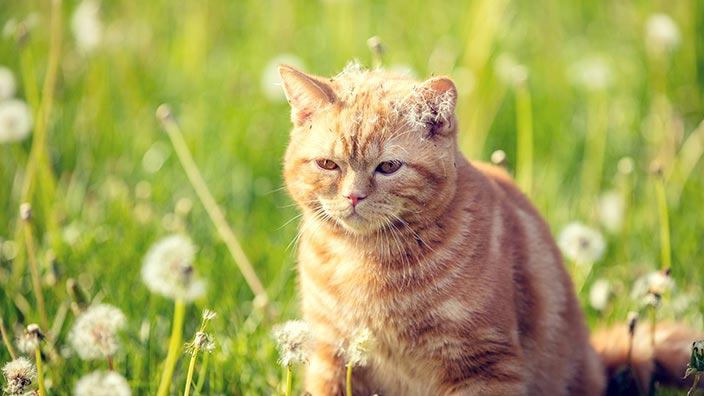 猫図鑑_ブリティッシュショートヘアの性格は?