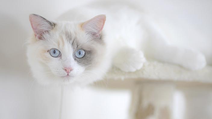 ラグドールはどんな性格の猫?特徴・寿命・値段は?_ラグドールの性格は?