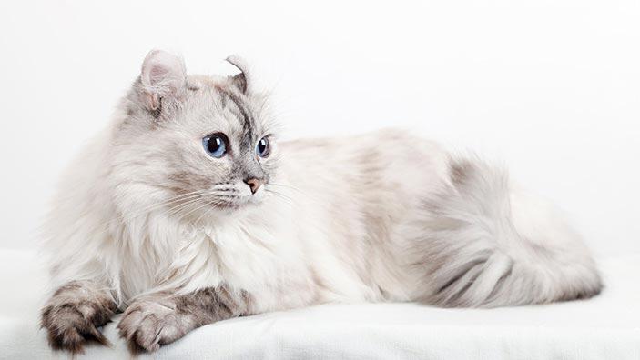 アメリカンカールはどんな性格の猫?特徴・寿命・値段は?_アメリカンカールの特徴4選