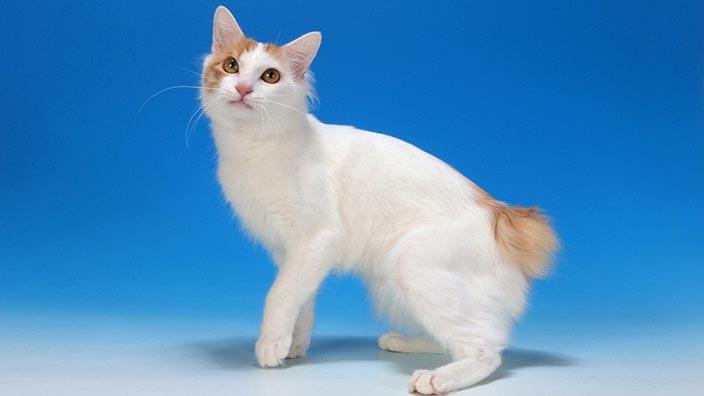【猫図鑑】ジャパニーズボブテイルはどんな性格の猫?特徴・寿命・値段は?_ジャパニーズボブテイルの特徴4選