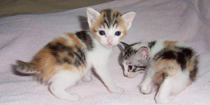 【猫図鑑】ジャパニーズボブテイルはどんな性格の猫?特徴・寿命・値段は?_ジャパニーズボブテイルと幸せな暮らしを送るために