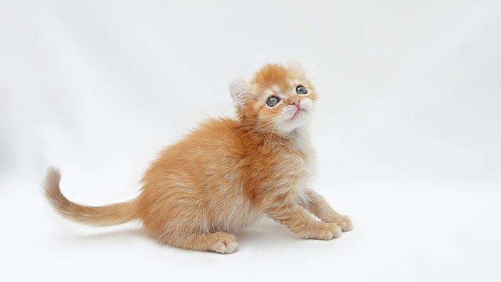 アメリカンカールはどんな性格の猫?特徴・寿命・値段は?_アメリカンカールと幸せな暮らしを送るために