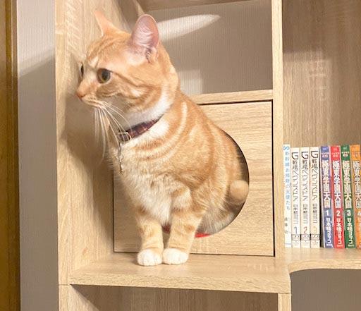 LOWYA(ロウヤ)キャットウォーク付き壁面本棚の口コミレビュー_本棚で遊ぶ猫たちの写真4