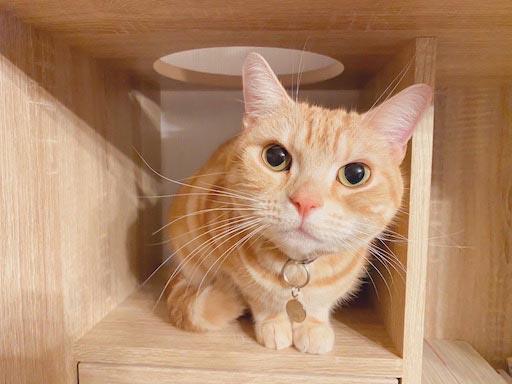 LOWYA(ロウヤ)キャットウォーク付き壁面本棚の口コミレビュー_本棚で遊ぶ猫たちの写真10