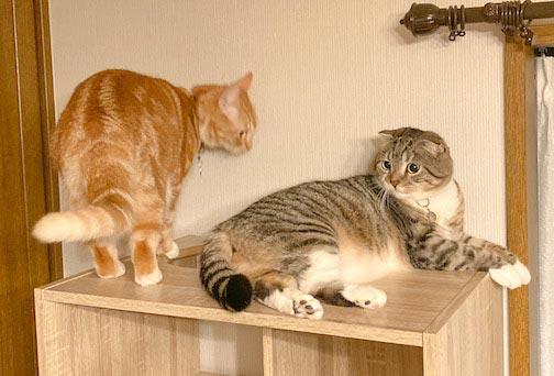 LOWYA(ロウヤ)キャットウォーク付き壁面本棚の口コミレビュー_本棚で遊ぶ猫たちの写真15