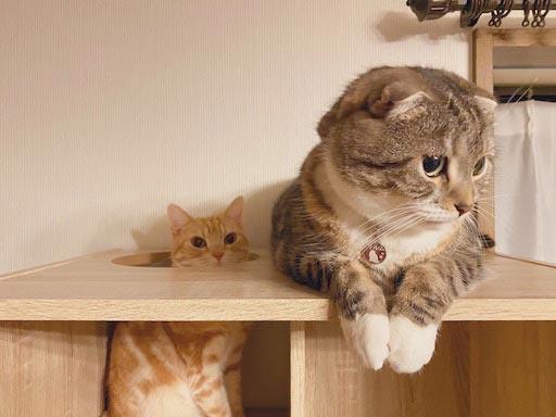 LOWYA(ロウヤ)キャットウォーク付き壁面本棚の口コミレビュー_本棚で遊ぶ猫たちの写真9