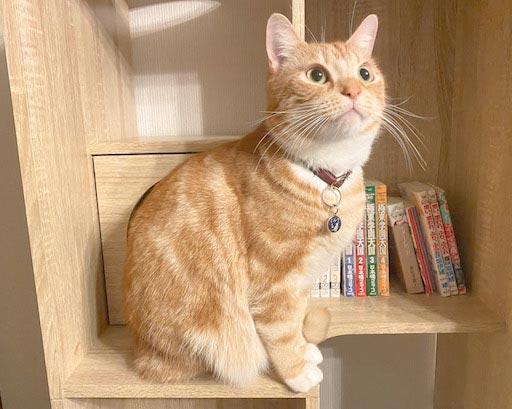 LOWYA(ロウヤ)キャットウォーク付き壁面本棚の口コミレビュー_本棚で遊ぶ猫たちの写真5