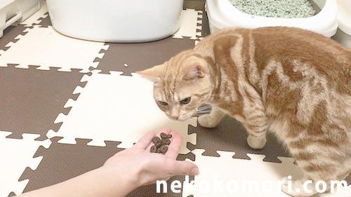 ジャガーキャットフードを警戒して初日は食べない猫